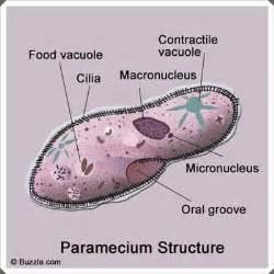 paramecium diagram paramecium reproduction
