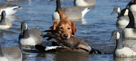 golden retriever omaha ne platte river retrievers omaha nebraska field golden retrievers
