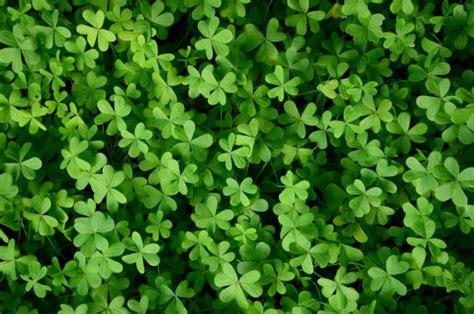 gambar rumput menanam daun bunga hijau semanggi