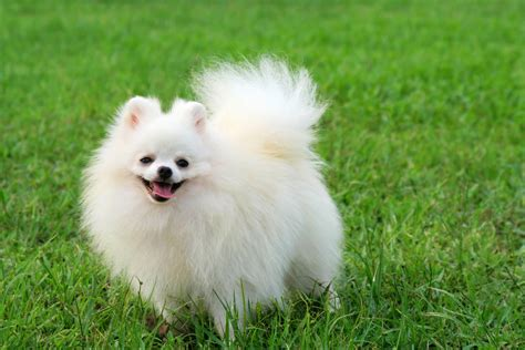 white pomeranian pomeranian breed 187 information pictures more
