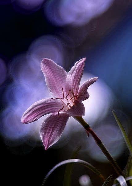 solitario dei fiori fiore solitario juzaphoto