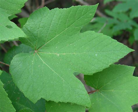climbing plant leaf identification matelic image creeping vine identification