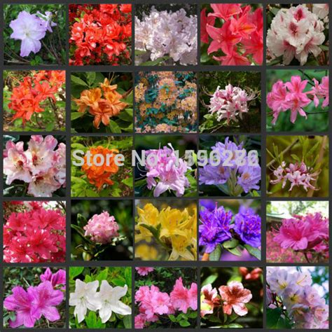 azalea bush colors 100 seeds 100 genuine mix color azaleas rhododendron