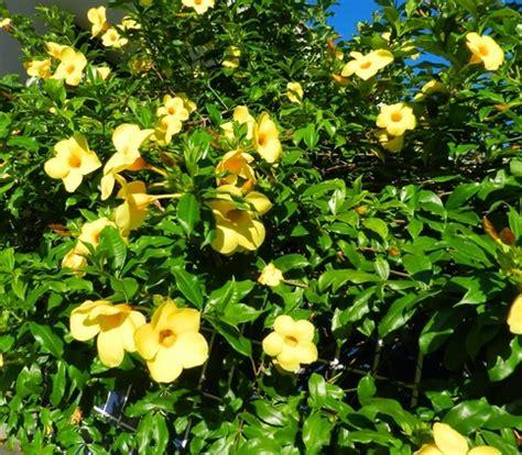 Sepatu Prewalker Bunga Kuning jenis tanaman bunga yang paling mudah perawatannya bibitbunga