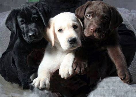 color labs mixed coloured labrador puppies puppies