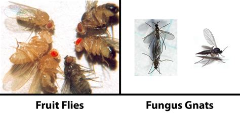 flies fruit flies how to get rid of fungus gnats for good grow weed easy
