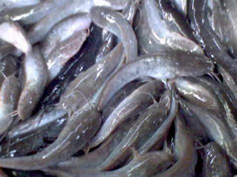 Bibit Ikan Lele usaha perikanan contoh gambar