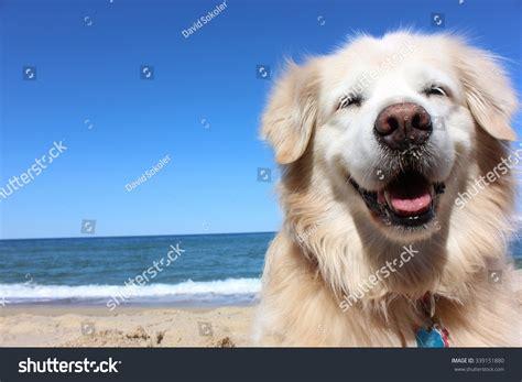 golden retriever smile golden retriever smile stock photo 339151880
