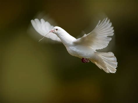 wallpapers white dove wallpapers