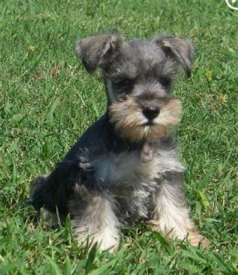 schnauzer puppy miniature schnauzer if i were going to a this is the i would