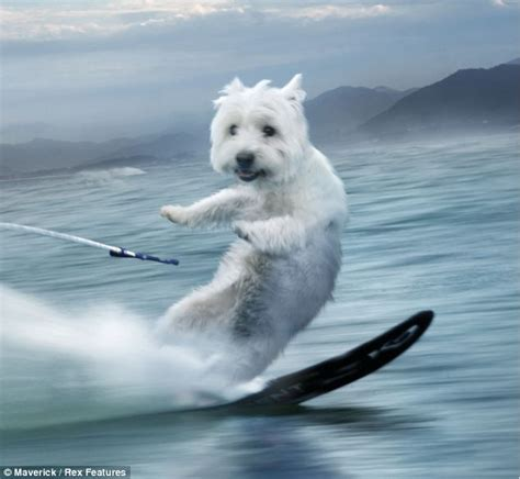 weather puppy surf s pup waterskiing westies feature in wacky new weather app designed to cheer