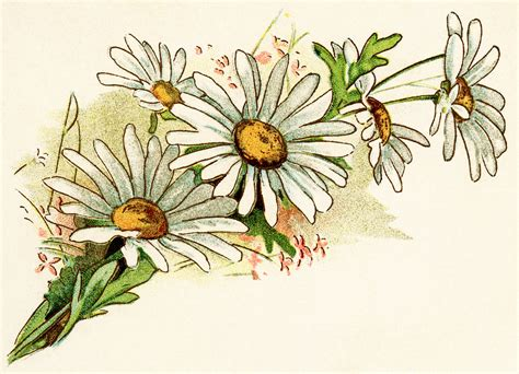 How To Design Home Office by Free Vintage Image Cluster Of Daisies Old Design Shop Blog