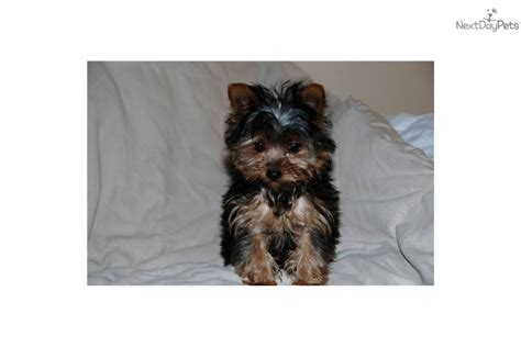 Teacup Terrier Puppies For Saledog