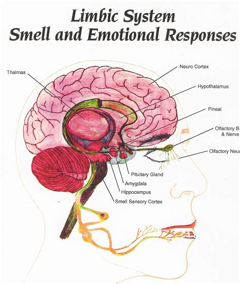 limbic system diagram prairiemary what s the skull