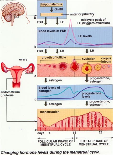 How to Study the Female Sexual Cycle in little TIME! | The ... Female Period Cycle