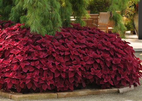 who needs flowers grow coleus for fine foliage garden club