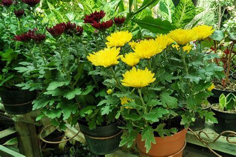 Jual Bibit Bunga Di Malang malang merdeka oleh oleh pasar bunga ini cara