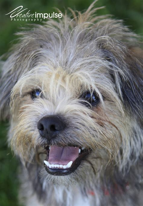 terrier and pug mix creative impulse bailey cairn terrier pug mix for adoption