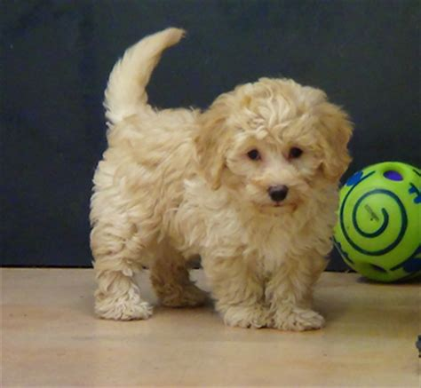 miniature labradoodle puppies mini labradoodle rescue search results global news ini berita