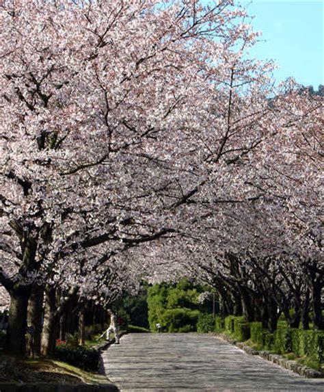 cherry tree yoshino yoshino cherry tree prunus x yedoensis the japanese cherry blossom botany boy