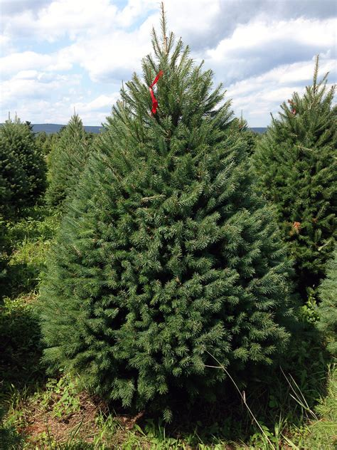 christmas tree needle retention hill farms types of trees