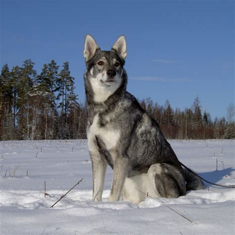 puppy in the j 228 mthund breed guide learn about the j 228 mthund
