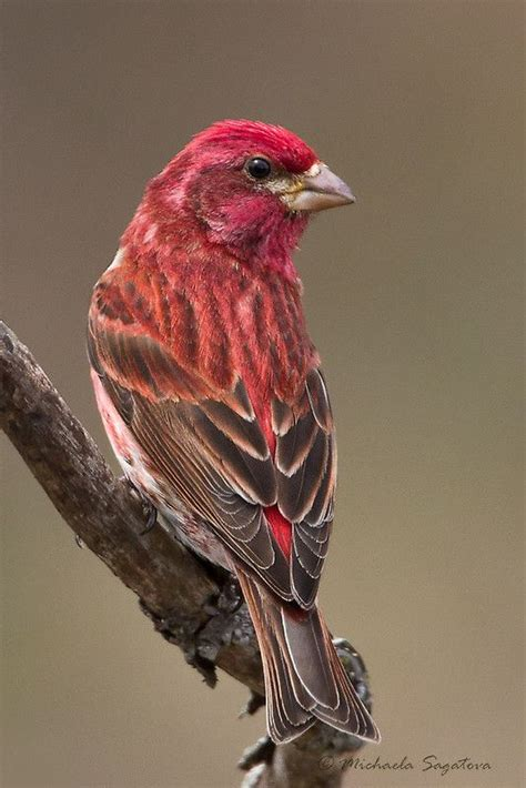 purple finch male by pixlpixi best backyard birds