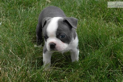boston terrier puppies for sale in pa terriers for sale akc