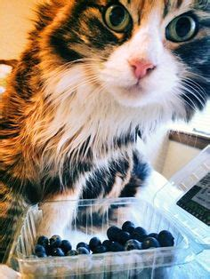 can my eat blueberries new kitten care kitten tips for raising your kitten