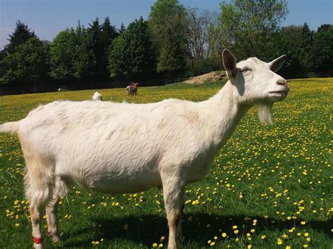 de cabras la portentosa capacidad comunicativa de las cabras