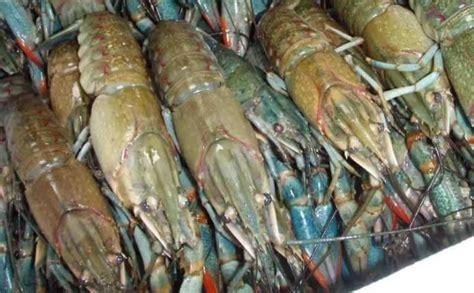 Lobster Air Tawar cara mudah budidaya lobster air tawar untuk pemula