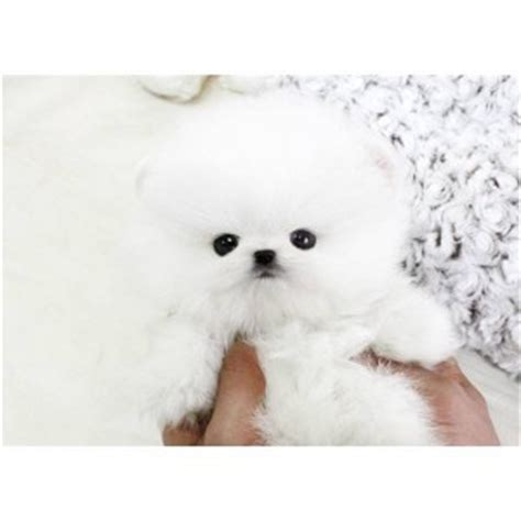 pomeranian puppies for sale in ky puppies for sale in kentucky petsale inc