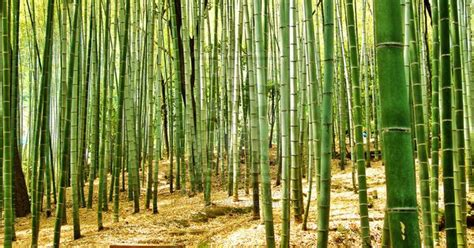 Pine And Bamboo Garden by Bamboo Is Usually Found In Such Gardens And Plum Trees Are