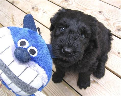 black russian terrier puppies available black russian terriers