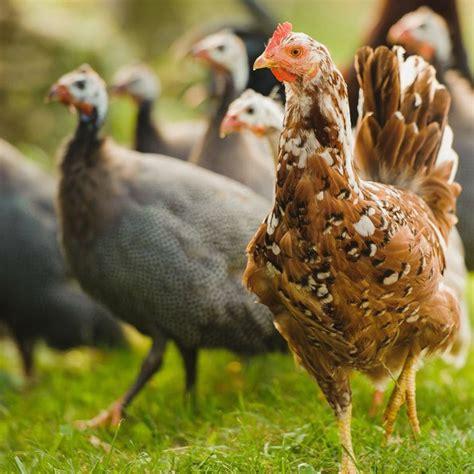 allevamenti animali da cortile terre di pascoli e allevamenti fedro gusto autentico