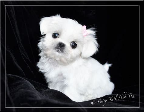 fairytale shih tzu 1000 images about ollie on for dogs pets and grooming tips