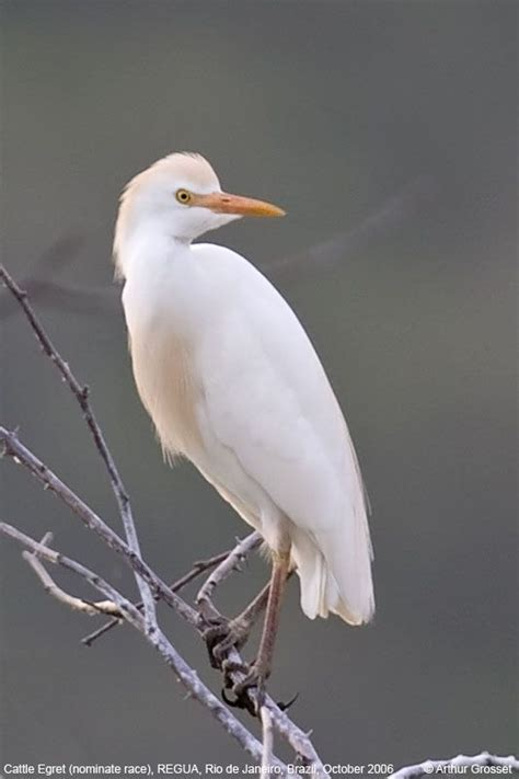 cattle egret my life list of birds pinterest