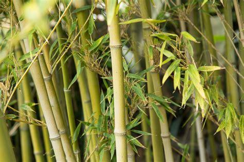 Que Faire Avec Des Bambous Coupés by Que Faire Avec Des Bambous Paravent Pour Terrasse Unique