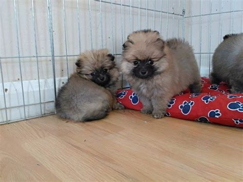 pomeranian puppies iowa pomeranian puppies just one left animals alden iowa announcement 63283