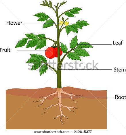 tomato flower diagram pin tomato plant diagram on