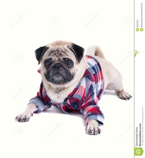 wearing pug shirt stylish in a shirt stock photography image 35670522