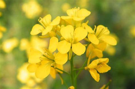 fiori di senape pianta senape aromatiche pianta senape