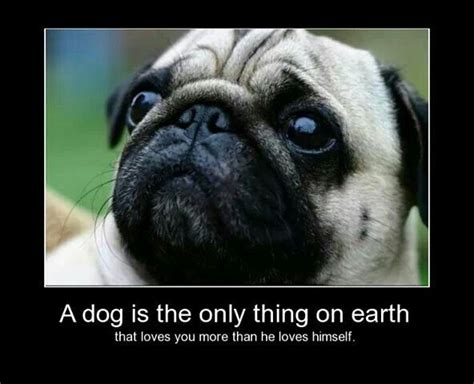 quotes on pugs quotes about pugs quotesgram