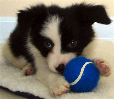 pictures of border collie puppies puppies