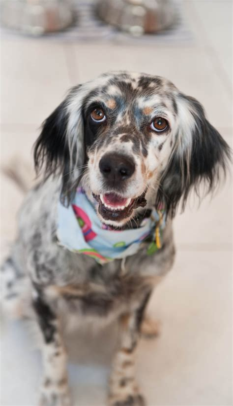 english setter dog adoption pin by noboru miyagawa on english setter pinterest