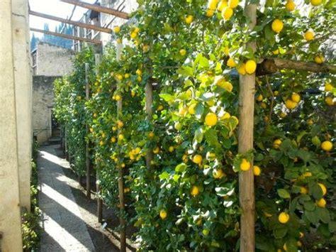 serra per limone in vaso le serre degli agrumi picture of la limonaia castel