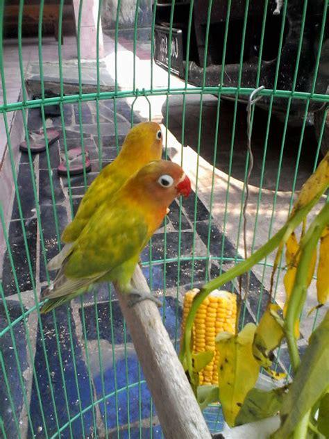 Alas Kandang Koloni dna lovebird farm cikande merawat lovebird