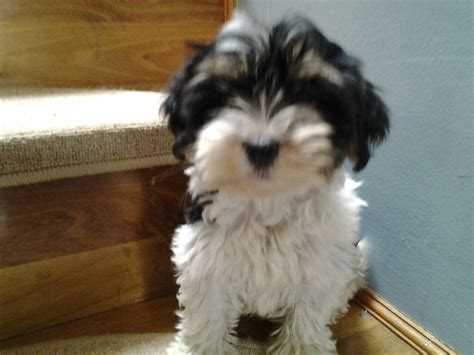 havanese for sale in 5 beautiful havanese puppy for sale sevenoaks kent pets4homes