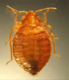 other bugs that look like bed bugs bugs that look like bed bugs but arent