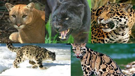 imagenes del jaguar panteras del mundo razas de panteras youtube